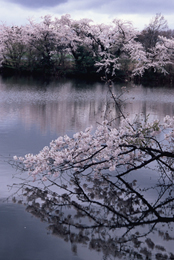 Sakura de Niigata