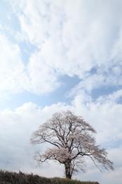 Sakura de Fukushima